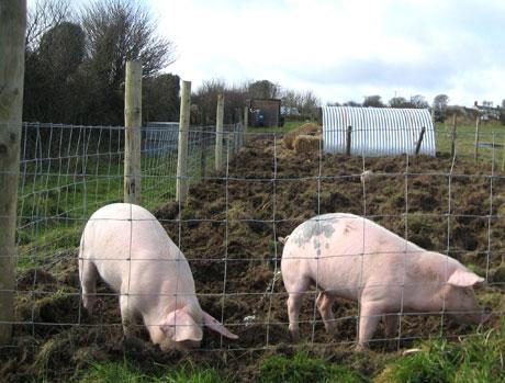 pig-dig
